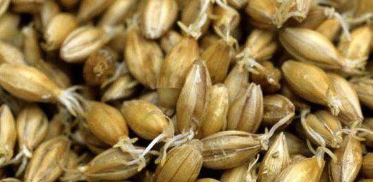 Barley, the main grain used in whisky